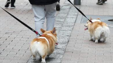 تصویر کره جنوبی از سگ ها و گربه ها هم آزمایش کرونا می گیرد